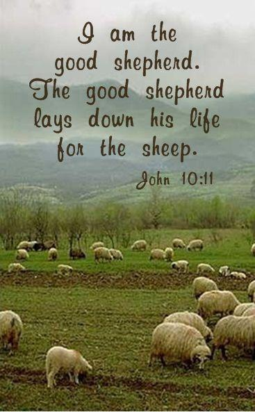 I am the good shepherd. The good shepherd lays down his life for the sheep Picture Quote #1