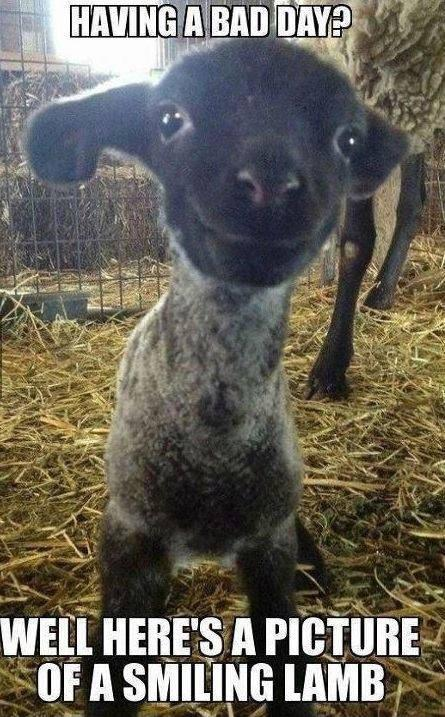 Having a bad day? Well here's a picture of a smiling lamb Picture Quote #1