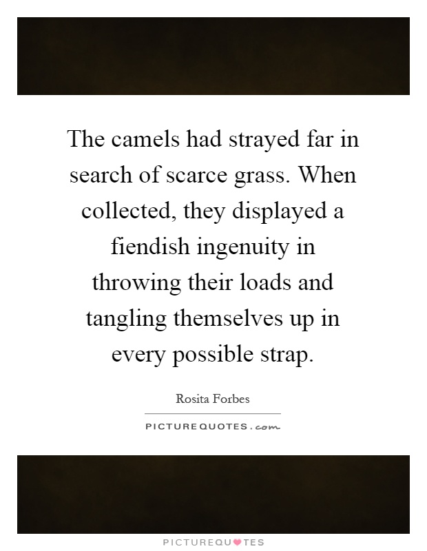 The camels had strayed far in search of scarce grass. When collected, they displayed a fiendish ingenuity in throwing their loads and tangling themselves up in every possible strap Picture Quote #1