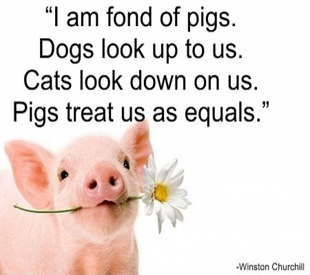 I am fond of pigs. Dogs look up to us. Cats look down on us. Pigs treat us as equals Picture Quote #1