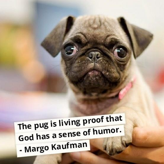 The pug is living proof that God has a sense of humor Picture Quote #1