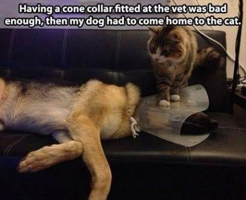 Having a cone collar fitted at the vet was bad enough, then my dog had to come home to the cat Picture Quote #1