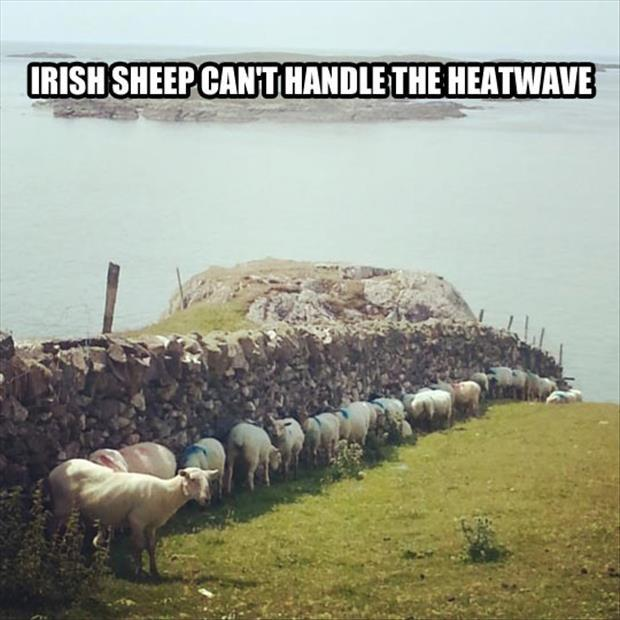 Irish sheep can't handle the heatwave Picture Quote #1