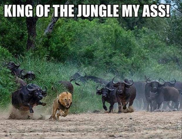 King of the jungle my ass! Picture Quote #1