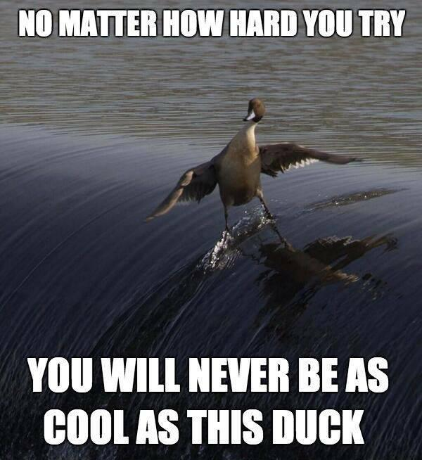 No matter how hard you try you will never be as cool as this duck Picture Quote #1