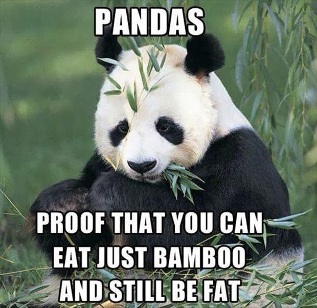 Pandas. Proof that you can eat just bamboo and still be fat Picture Quote #1