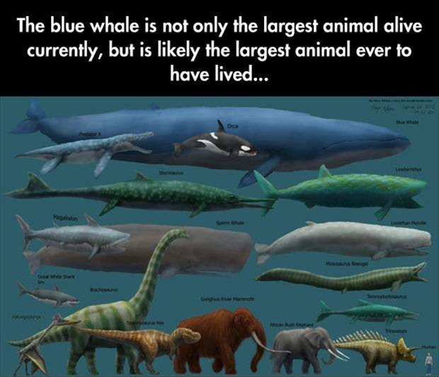 The blue whale is not only the largest animal alive currently, but is likely the largest animal ever to have lived Picture Quote #1