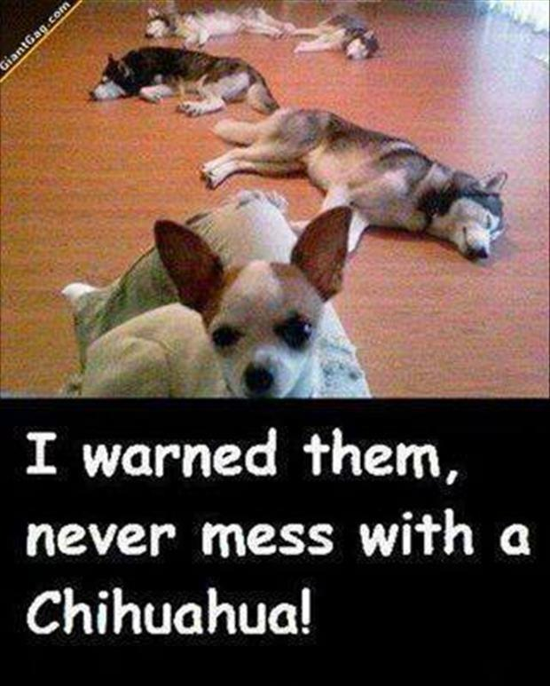 I warned them, never mess with a Chihuahua! Picture Quote #1