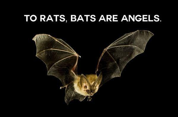 To rats, bats are angels Picture Quote #1