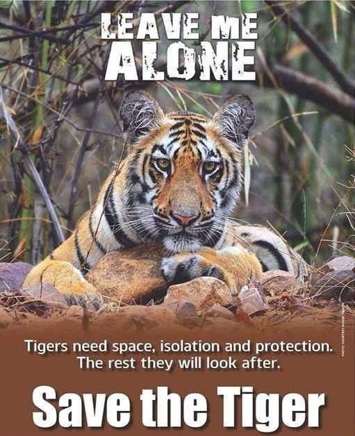 Tiger Quotes Adorable Tiger Quotes Tiger Sayings Tiger Picture Quotes