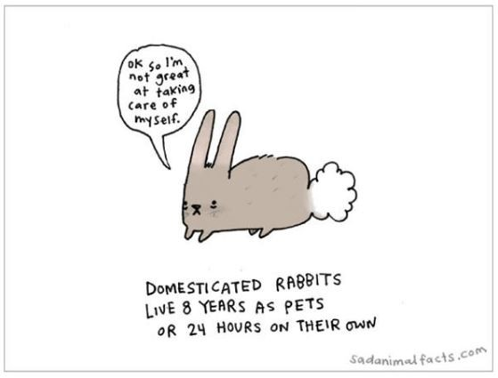 Domesticated rabbits live 8 years as pets or 24 hours on their own Picture Quote #1