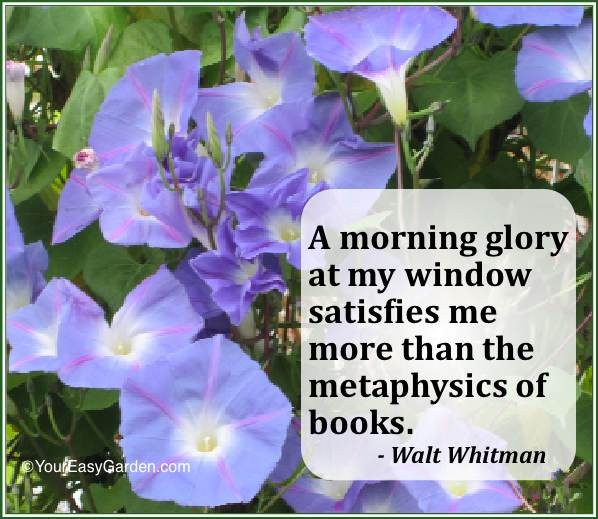 Morning Glory Quote 1 Picture Quote #1
