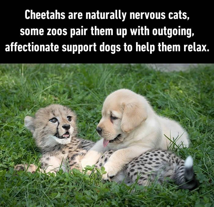 Cheetahs are naturally nervous cats, some zoos pair them up with outgoing, affectionate support dogs to help them relax Picture Quote #1