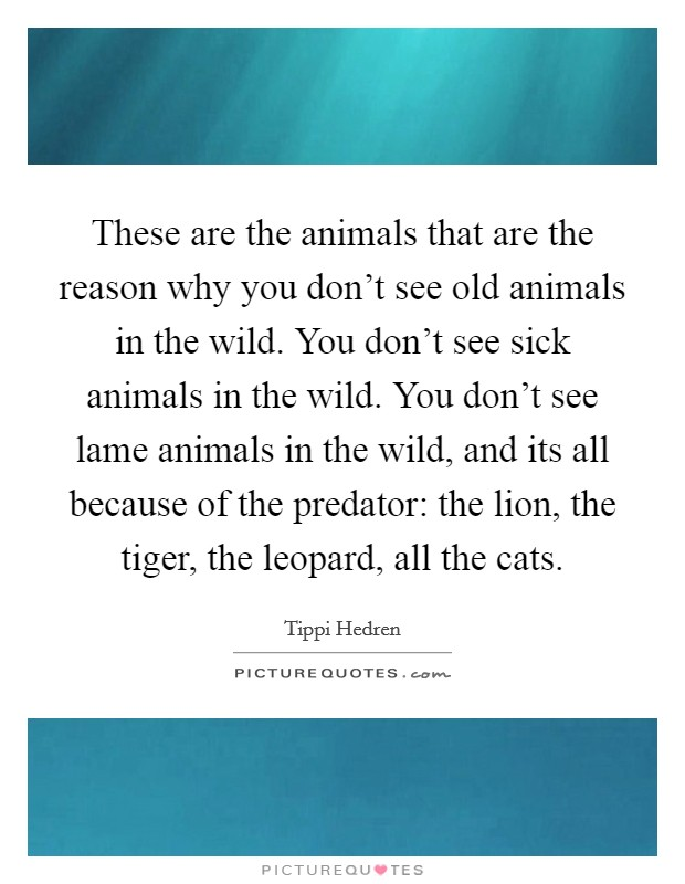 These are the animals that are the reason why you don't see old animals in the wild. You don't see sick animals in the wild. You don't see lame animals in the wild, and its all because of the predator: the lion, the tiger, the leopard, all the cats Picture Quote #1