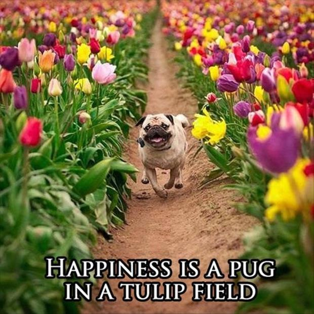 Happiness is a pug in a tulip field Picture Quote #1