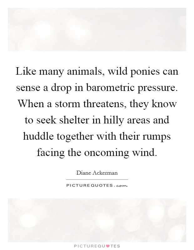Like many animals, wild ponies can sense a drop in barometric pressure. When a storm threatens, they know to seek shelter in hilly areas and huddle together with their rumps facing the oncoming wind Picture Quote #1