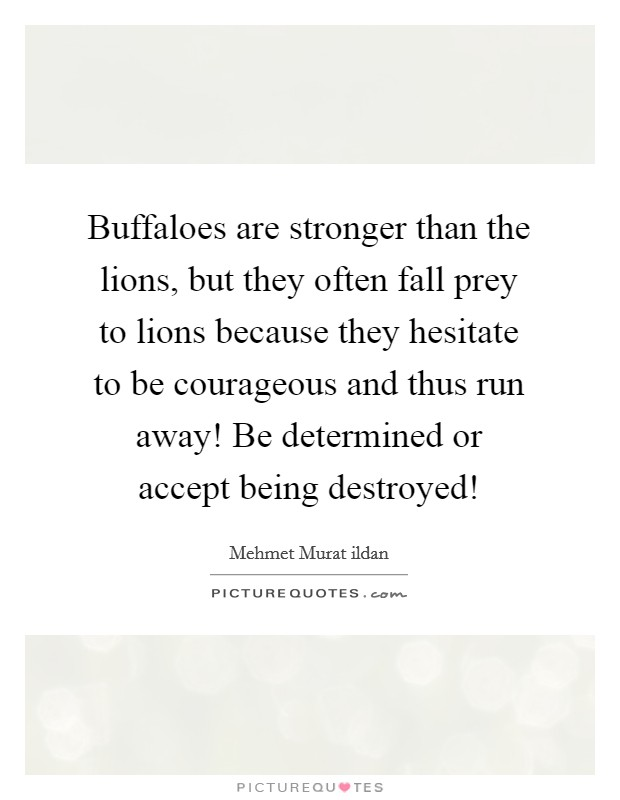 Buffaloes are stronger than the lions, but they often fall prey to lions because they hesitate to be courageous and thus run away! Be determined or accept being destroyed! Picture Quote #1